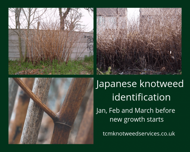 Would you be able to identify Japanese knotweed in early Spring?