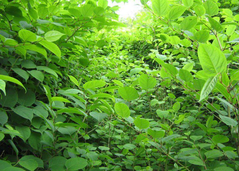 Landlord fined £18,000 for allowing Japanese knotweed to grow unchecked