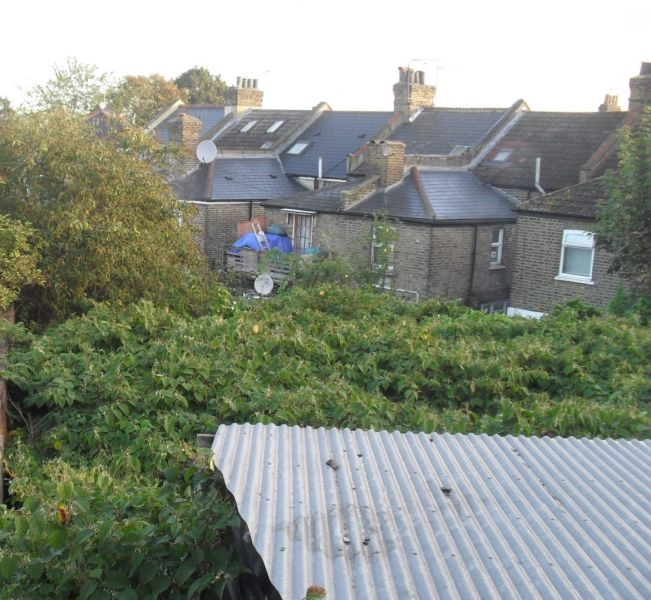 What to do if neighbour has Japanese knotweed