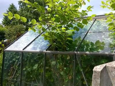 Japanese knotweed growth through greenhouse roof