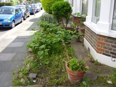 Japanese Knotweed Infestation, London